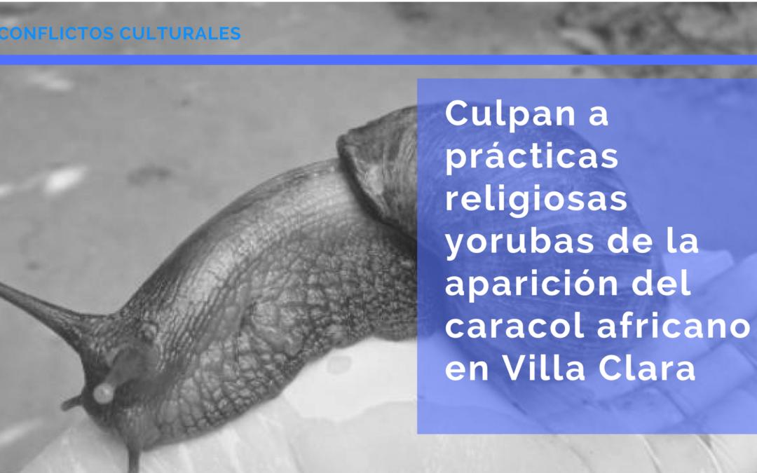 Culpan a prácticas religiosas yorubas de la aparición del caracol africano en Villa Clara