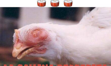Los memes de las gallinas decrépitas