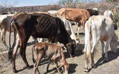 El régimen cubano, no la sequía, mata de hambre a las vacas