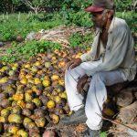 Ni mangos pueden comer los cubanos para matar el hambre